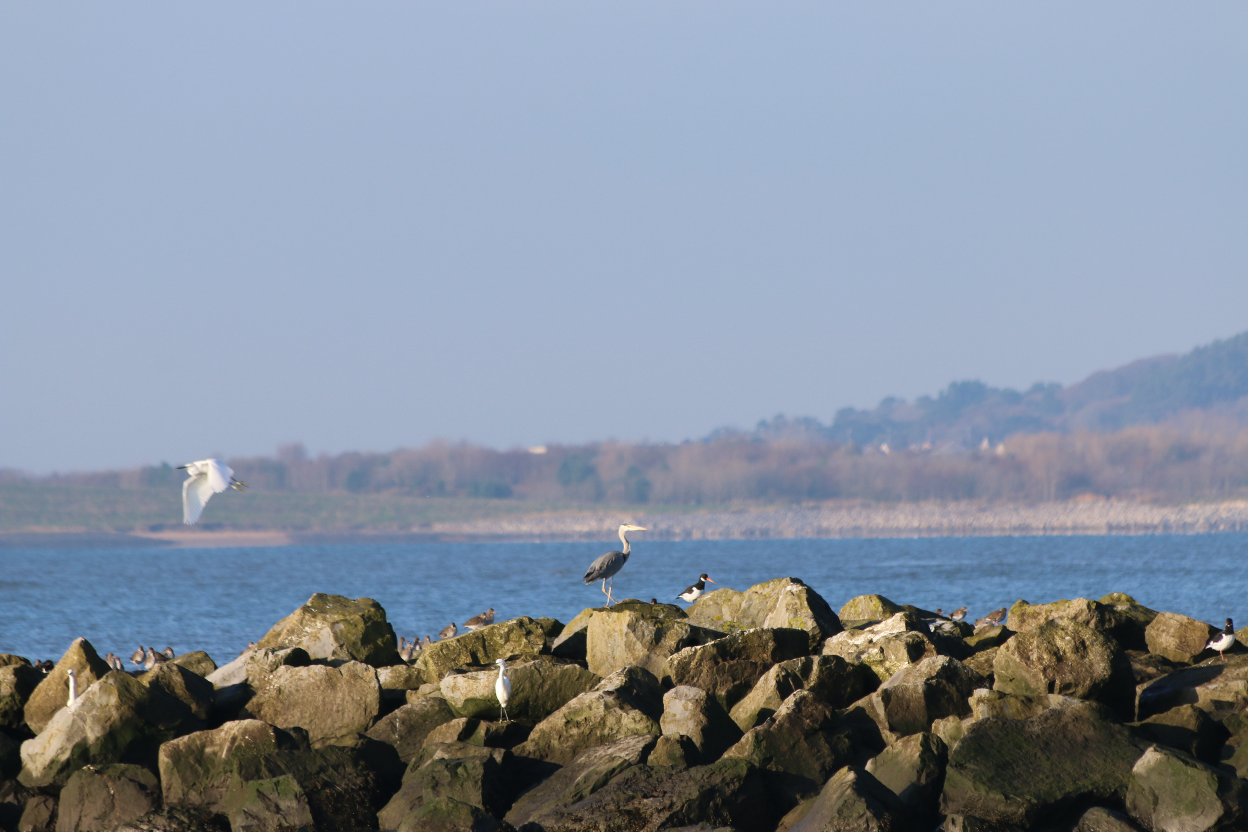 Snowy egrets, grey heron and oystercatchers. I need more zoom!