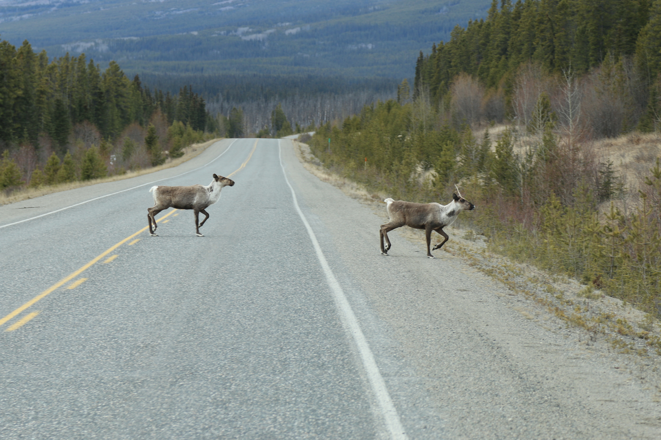 Caribou on the hwy
