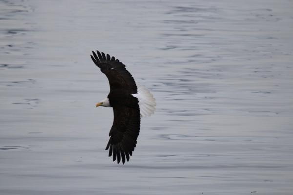 Along comes the mature bald eagle