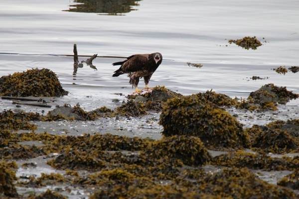 A juvenile bald eagle feeding on salmon