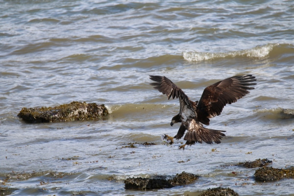 The following day the juvenile comes back to claim the fish head