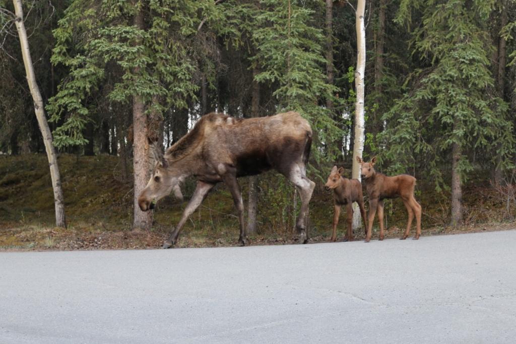 Denali NPP: Moose cow and 2 calves.