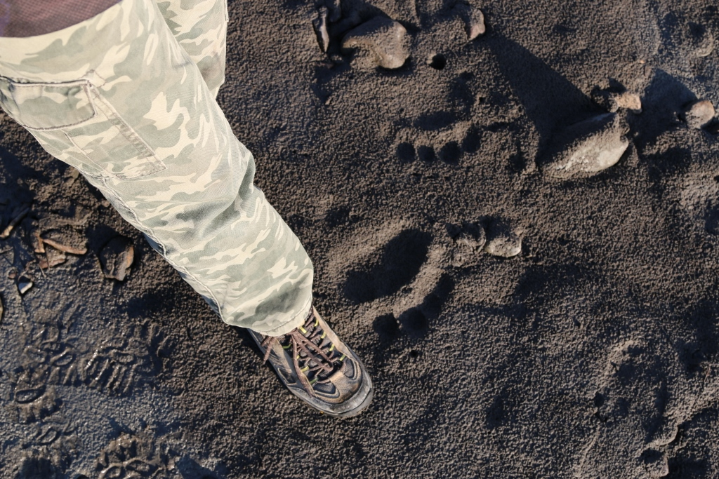 Grizzly bear prints next to Rhys' foot