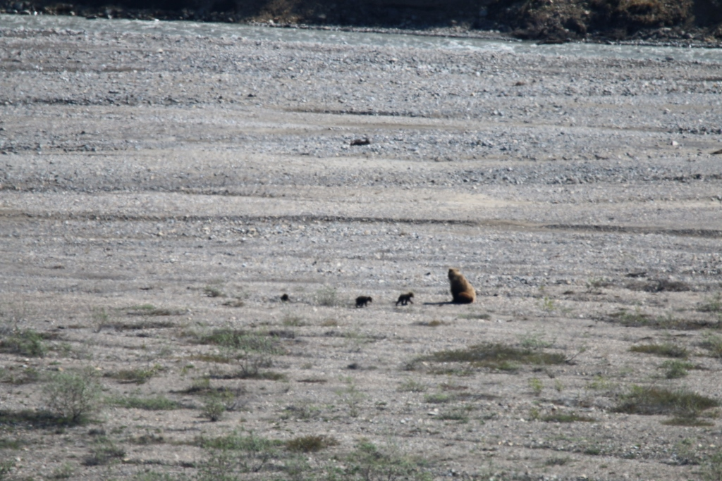 Mother Grizzly and 3 cubs - so glad I bought the zoom!