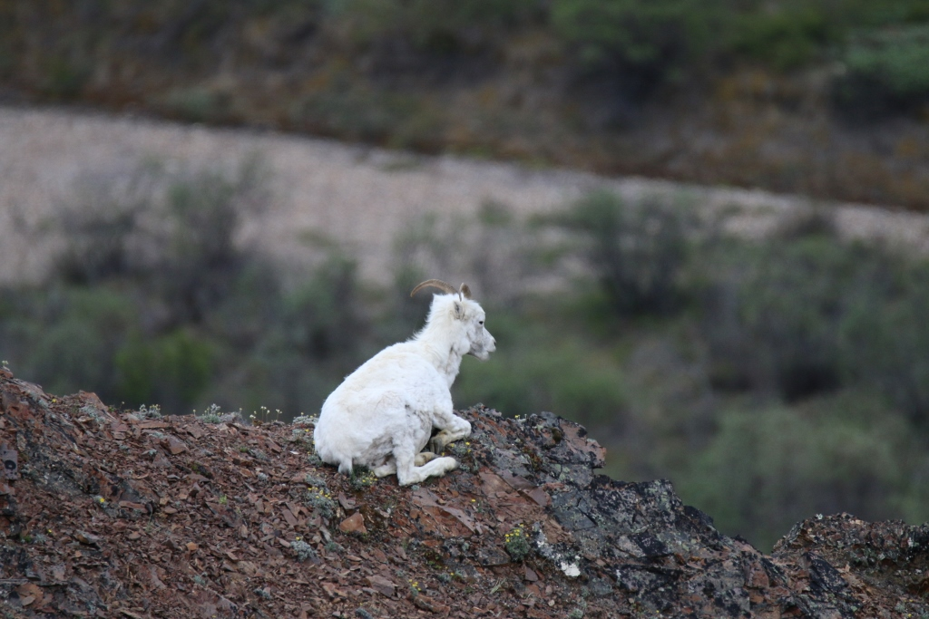 Dall sheep on a ridge