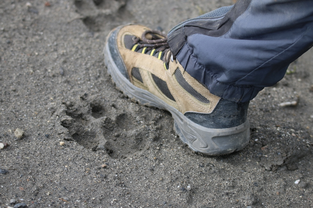Wolf tracks next to Dylan's foot
