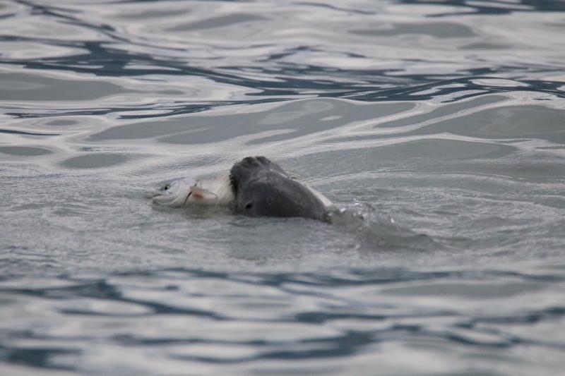 Harbor seal catching salmon