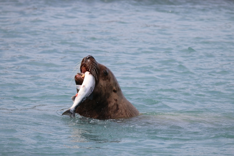 Sea lion catching salmon