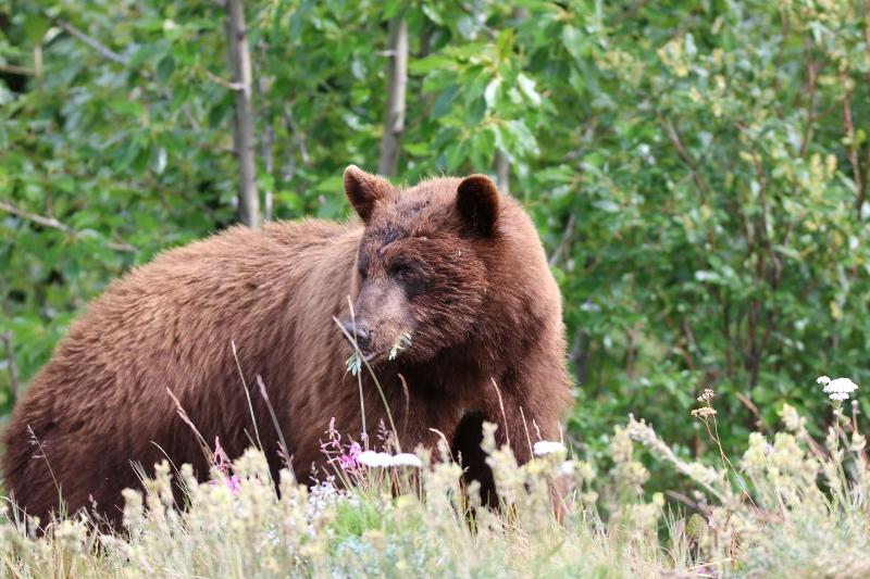 Black bear (with brown fur)