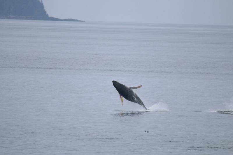 Humpback whale breaching - with style!