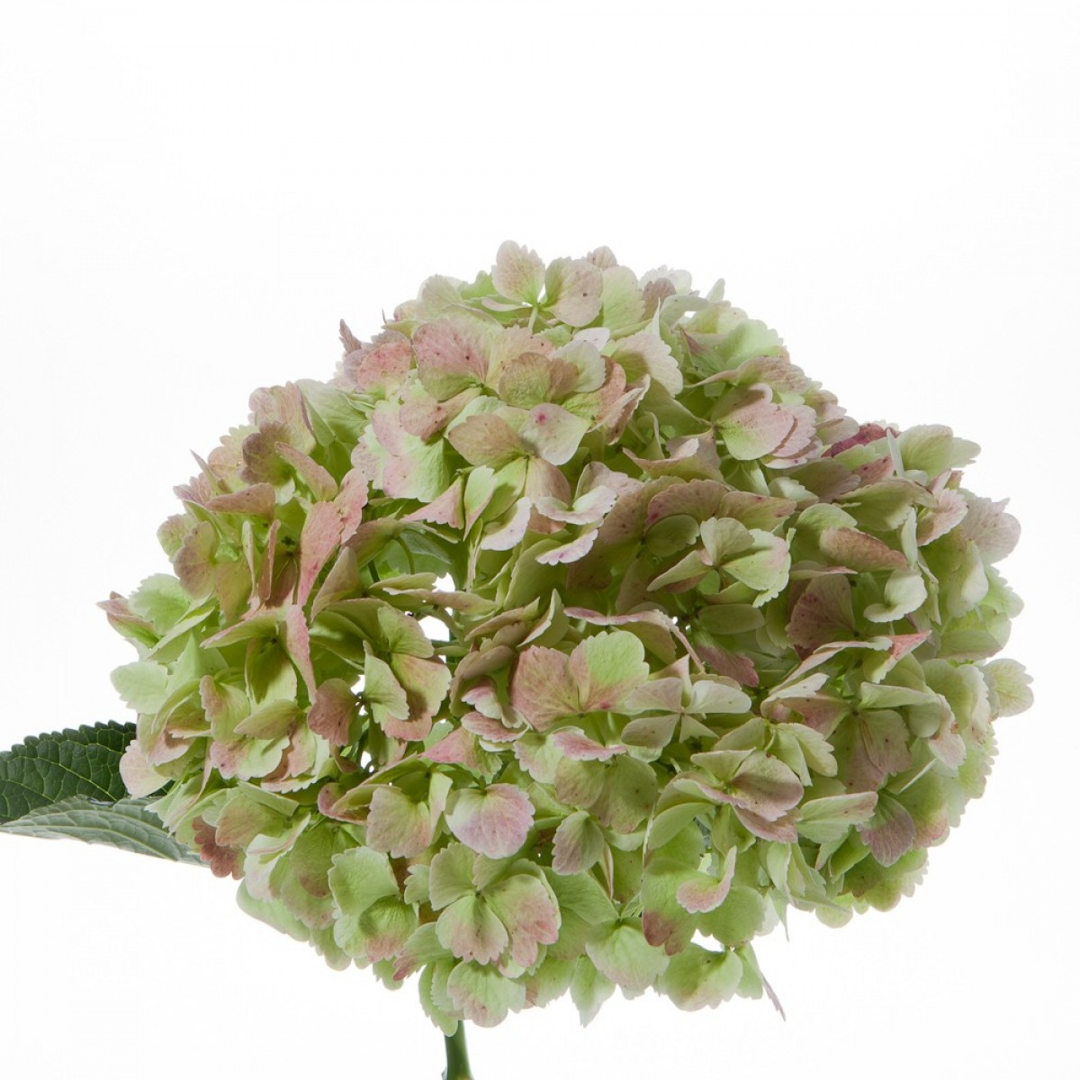 Antique Hydrangea     Colors:  Green/pink, green/red   Care:  Remove all but top leaves, cold water, preservative