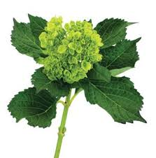 Mini Green Hydrangea    Color: green    Care:  Remove all but top leaves, cut and preservative, soak head for 10 to revive, recut stem