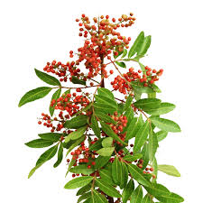 Pepperberry    Color:  Red   Care:  Remove leaves, refrigerate for longevity