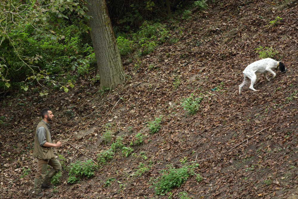 the dog in search of truffles