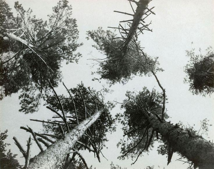 Pine trees, Pushkino , 1927.