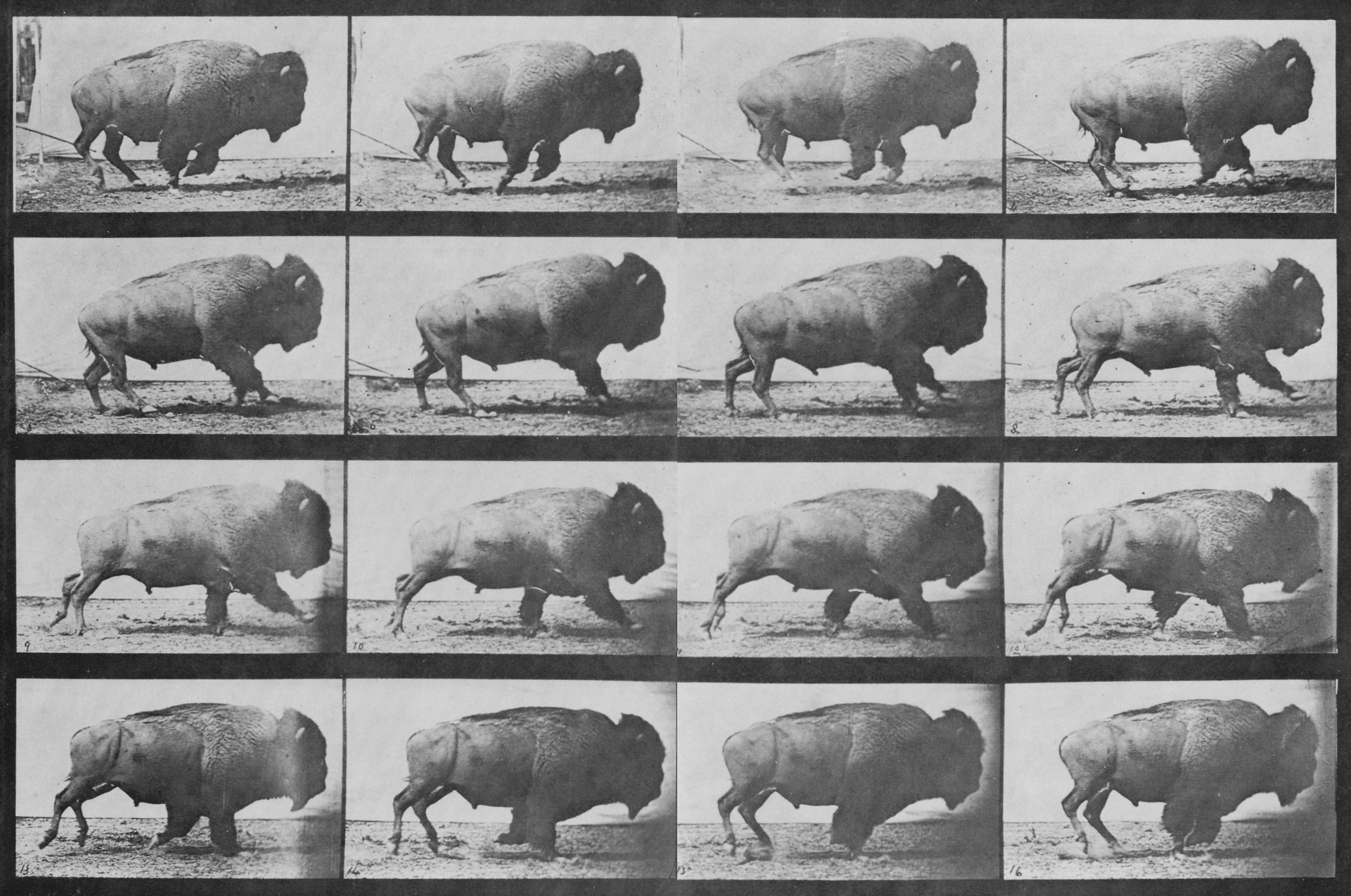 Muybridge_Buffalo_sequence.jpg