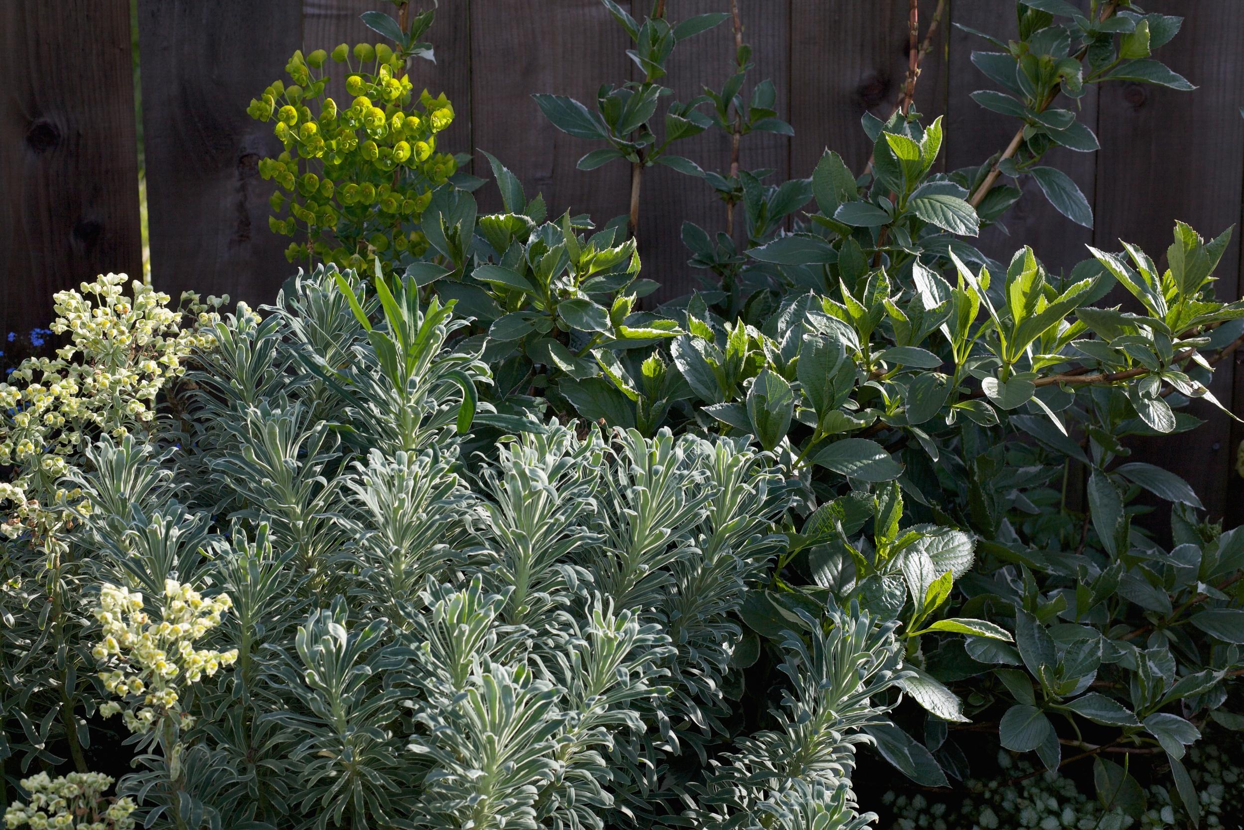 Euphorbia and Hydrangea.jpg