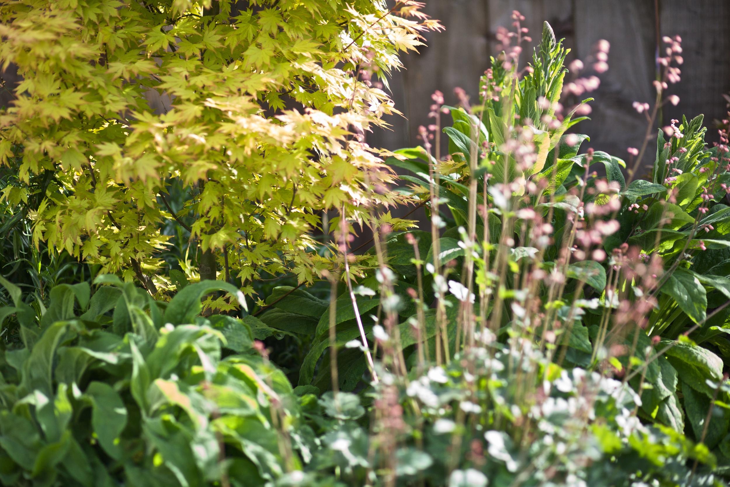 Japanese Maple and perennials.jpg