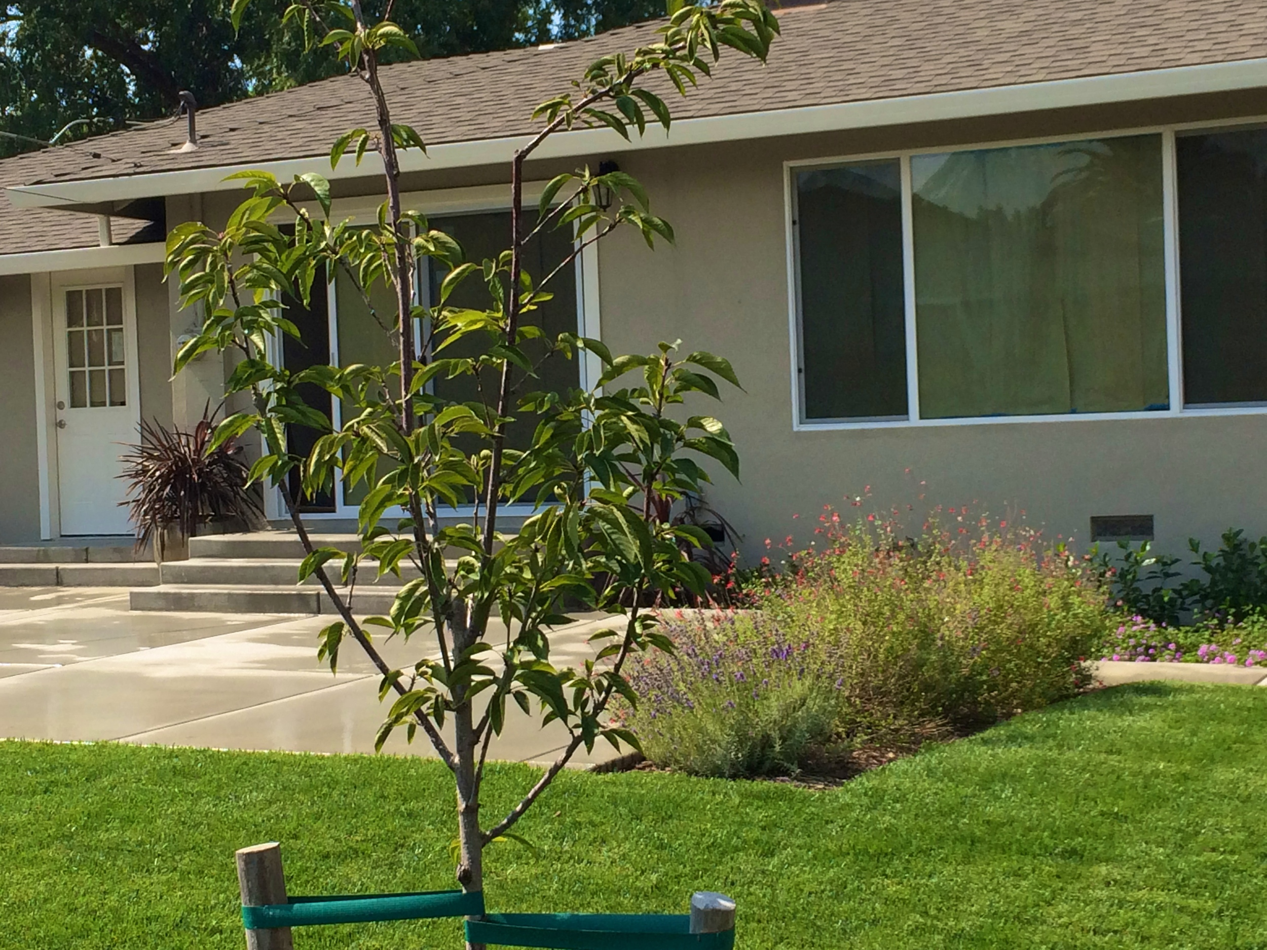 Schuyler - back patio cherry tree.jpg
