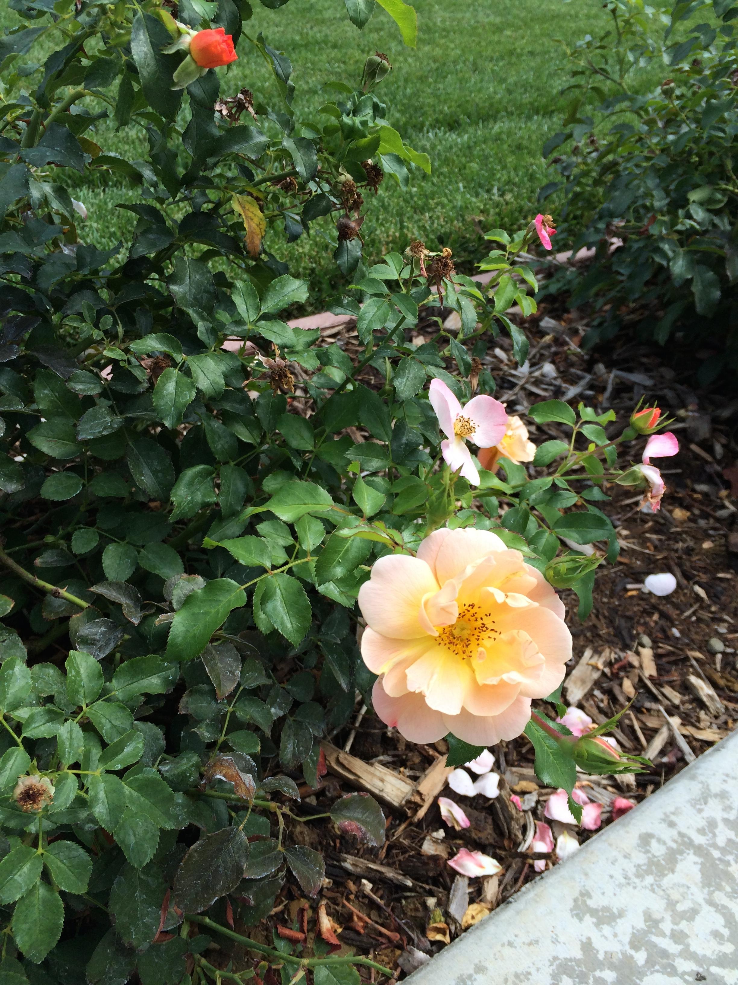 Schuyler Roses detail.jpg