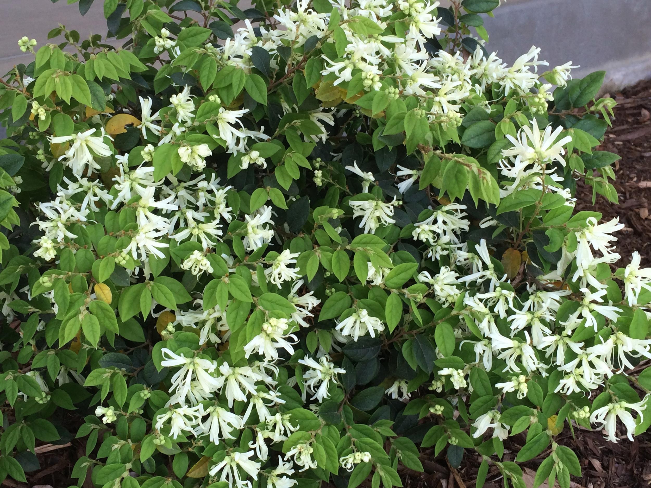Schuyler Loropetalum chinense.jpg