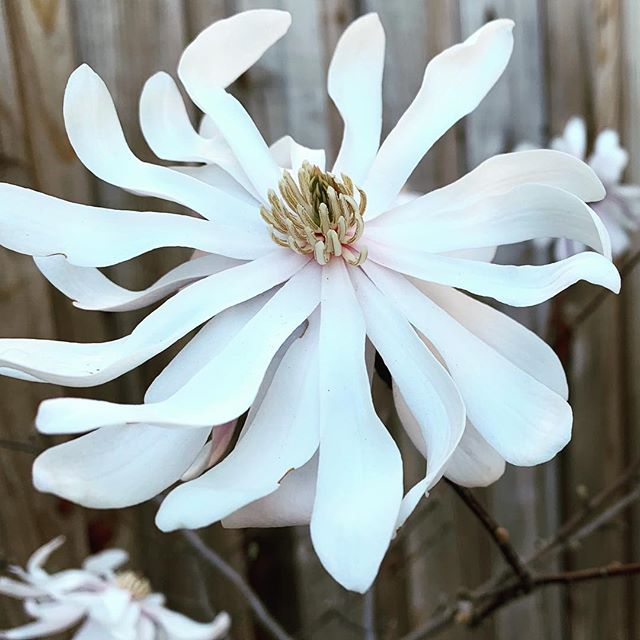 Royal Star Magnolia - a sure sign it's spring! #magnolia