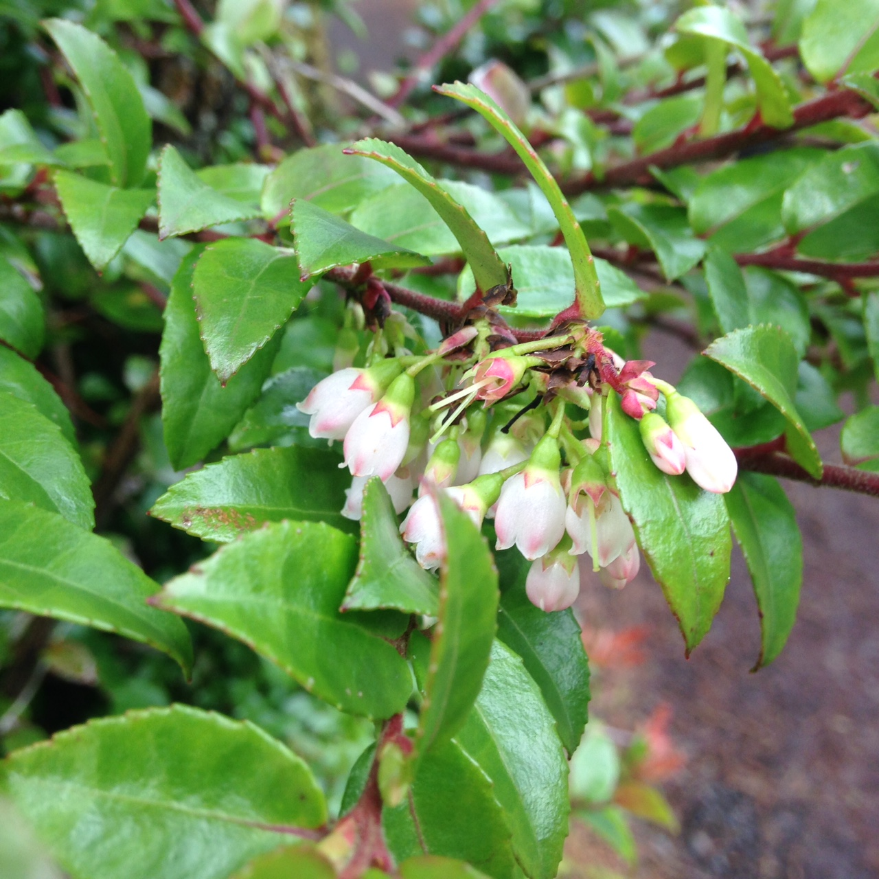 Evergreen huckleberry flowers in March 2015