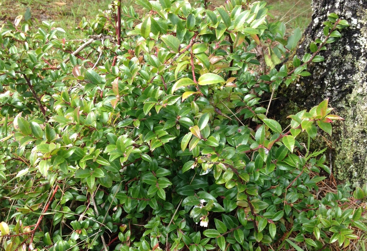 Evergreen huckleberry in spring