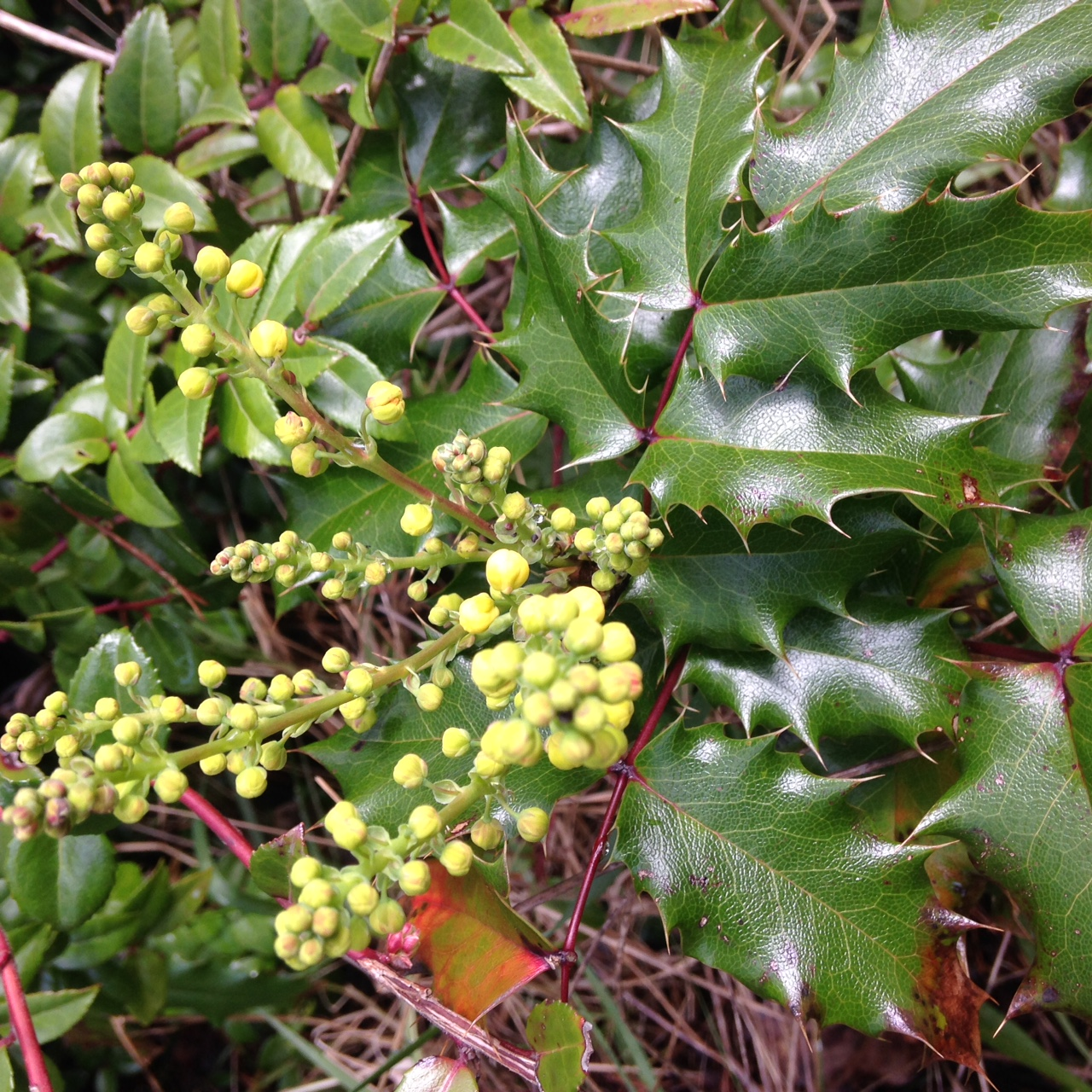 Oregon grape about to flower in March 2015