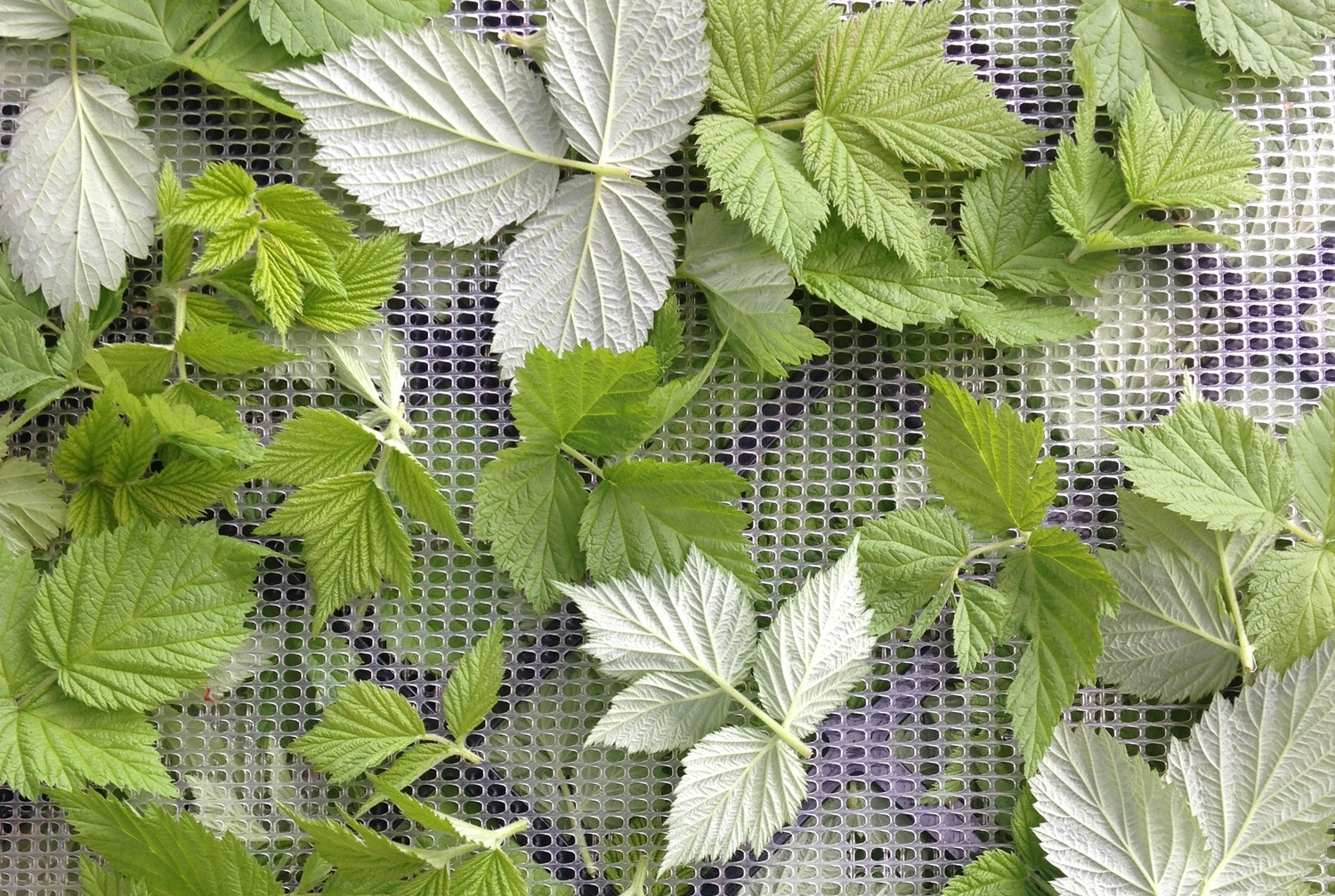 Single layer of raspberry leaves on a dehydrator tray.