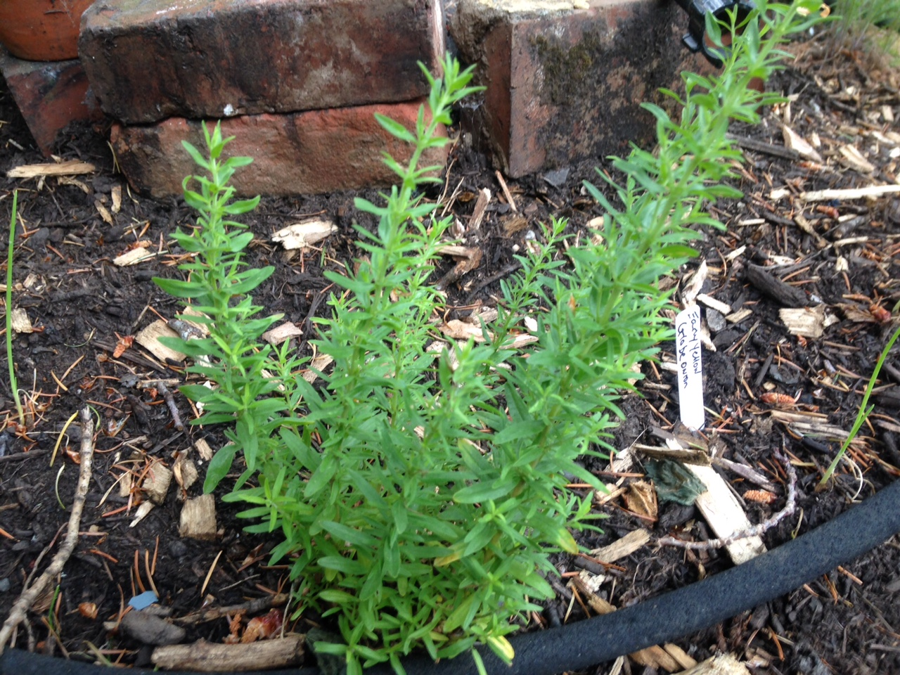 H. officinalis growing in my herb spiral (this one was a birthday gift this spring)