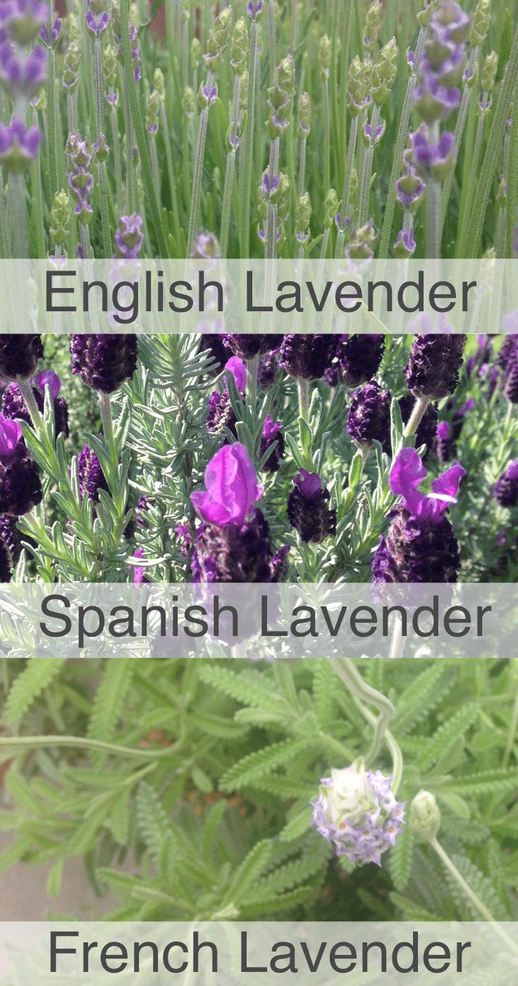 lavender_plant.png