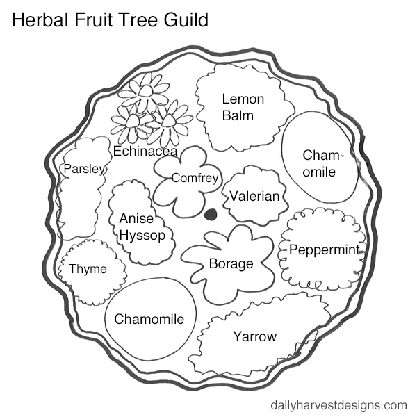 Permaculture Herbal Fruit Tree Guild.png