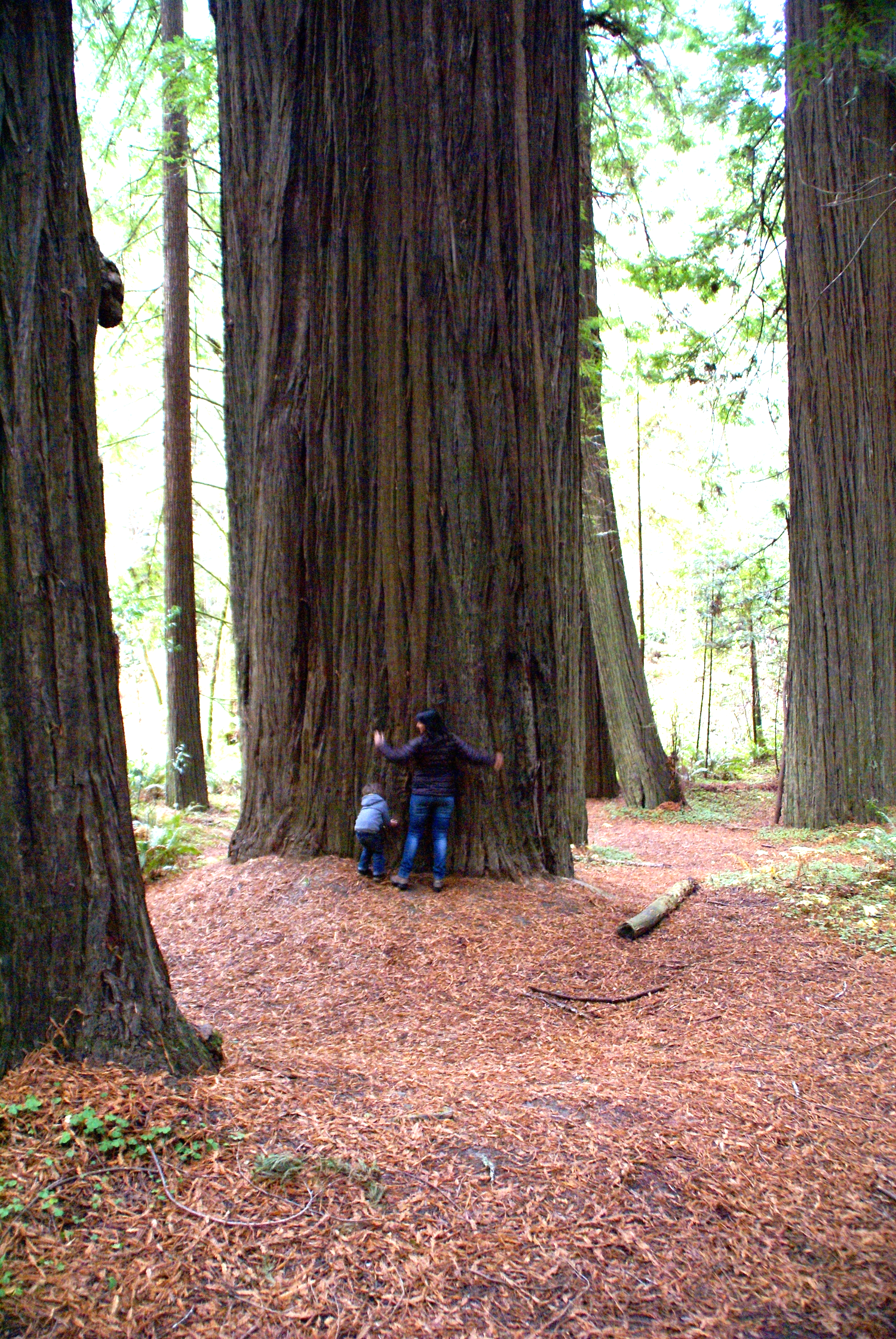 Tree-hugging in northern California