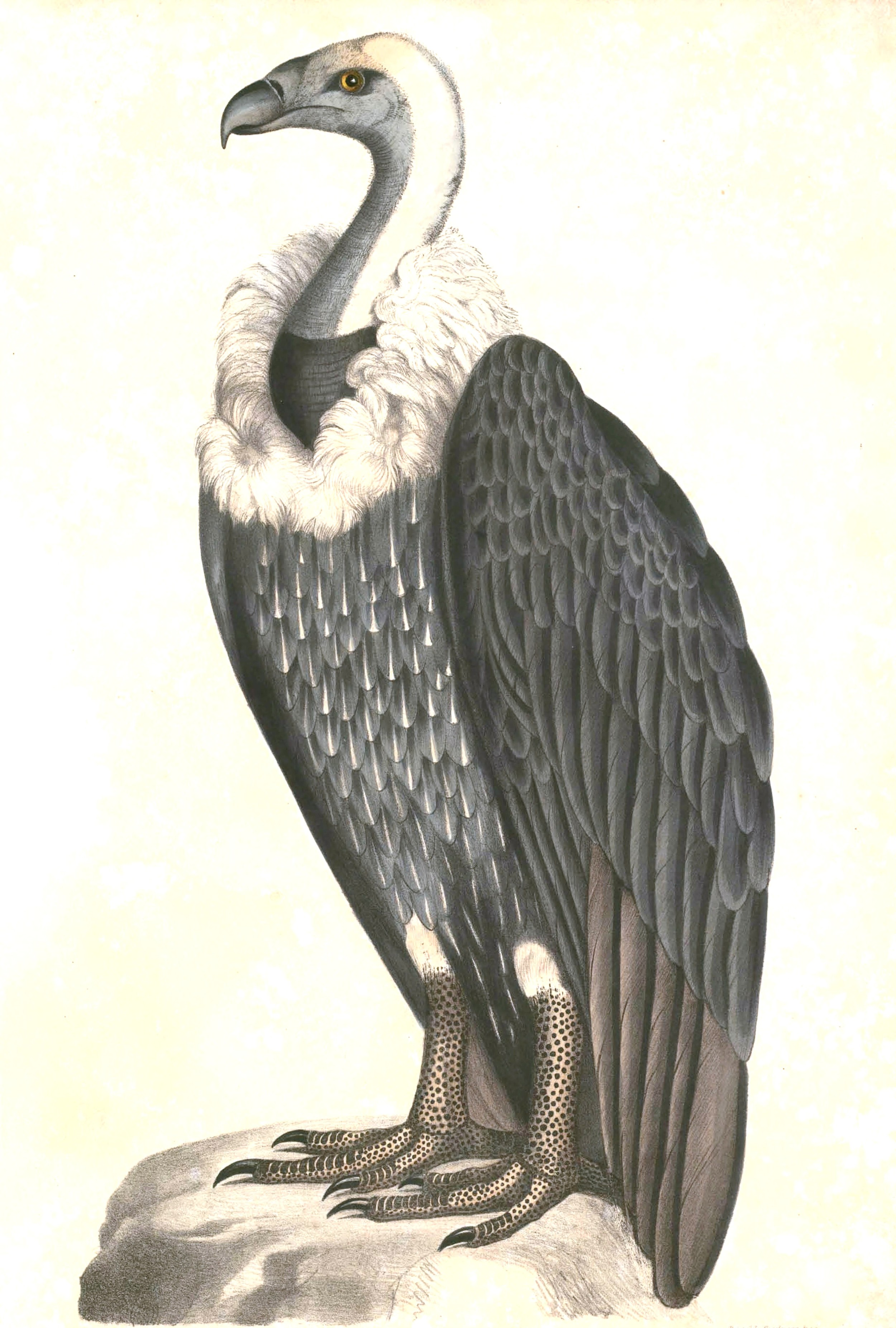Gyps Bengalensis , Thomas Hardwicke, Illustrations of Indian Zoology - Volume I