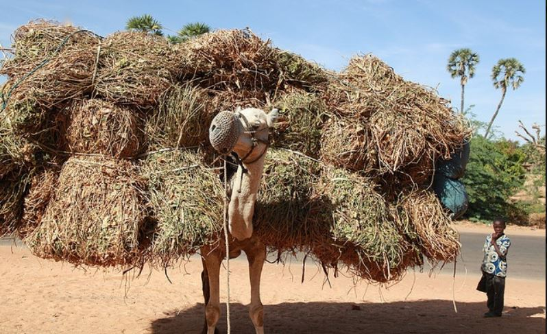 Image with acknowledgment to http://carolinaparrothead.blogspot.com/2016/05/breaking-camels-back.html