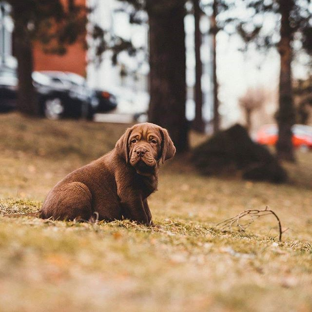Hello! My name is Pablo! I'll be your photography assistant! #labrador #labradorpuppies #puppy #labrador #puppylove #spring #chocolatelab #chocolatelabsofinstagram