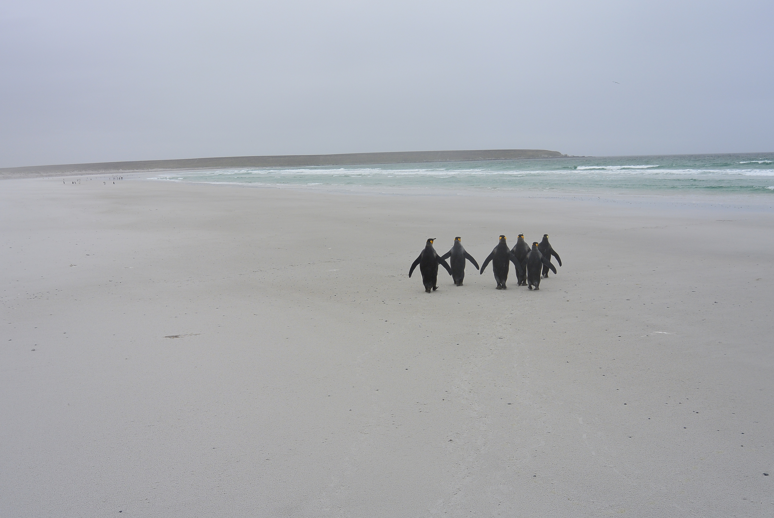 Falkland Islands Penguin Beach