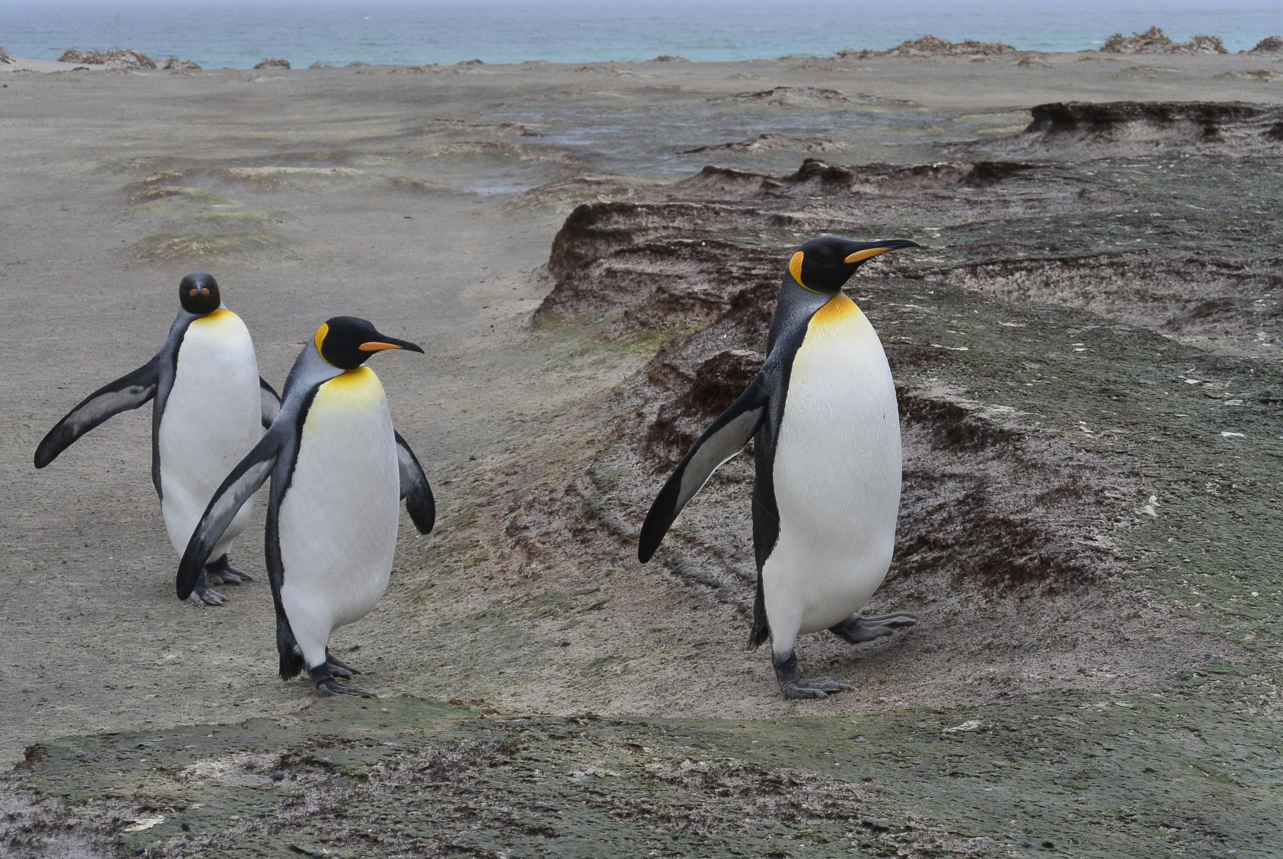 King Penguin on Falkland Islands
