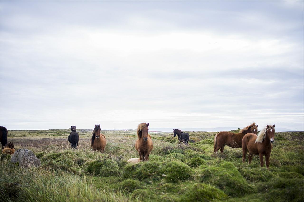 Icelandic horses - Photograph courtesy of  Pixabay