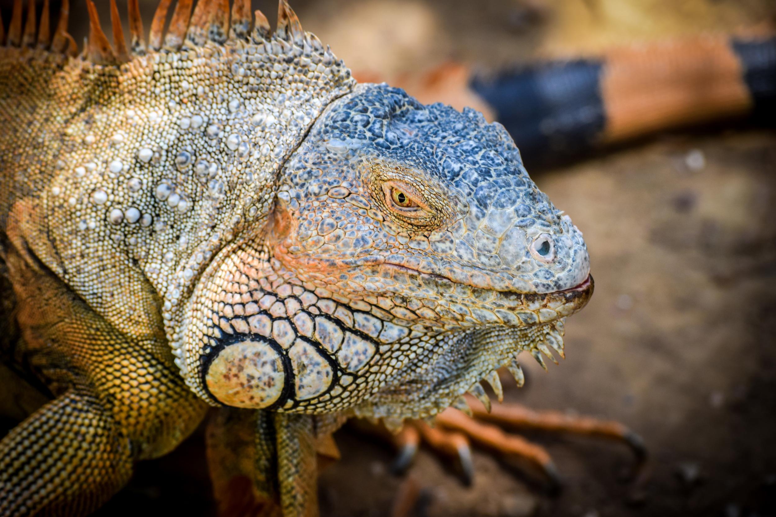 Iguana,  Roatán