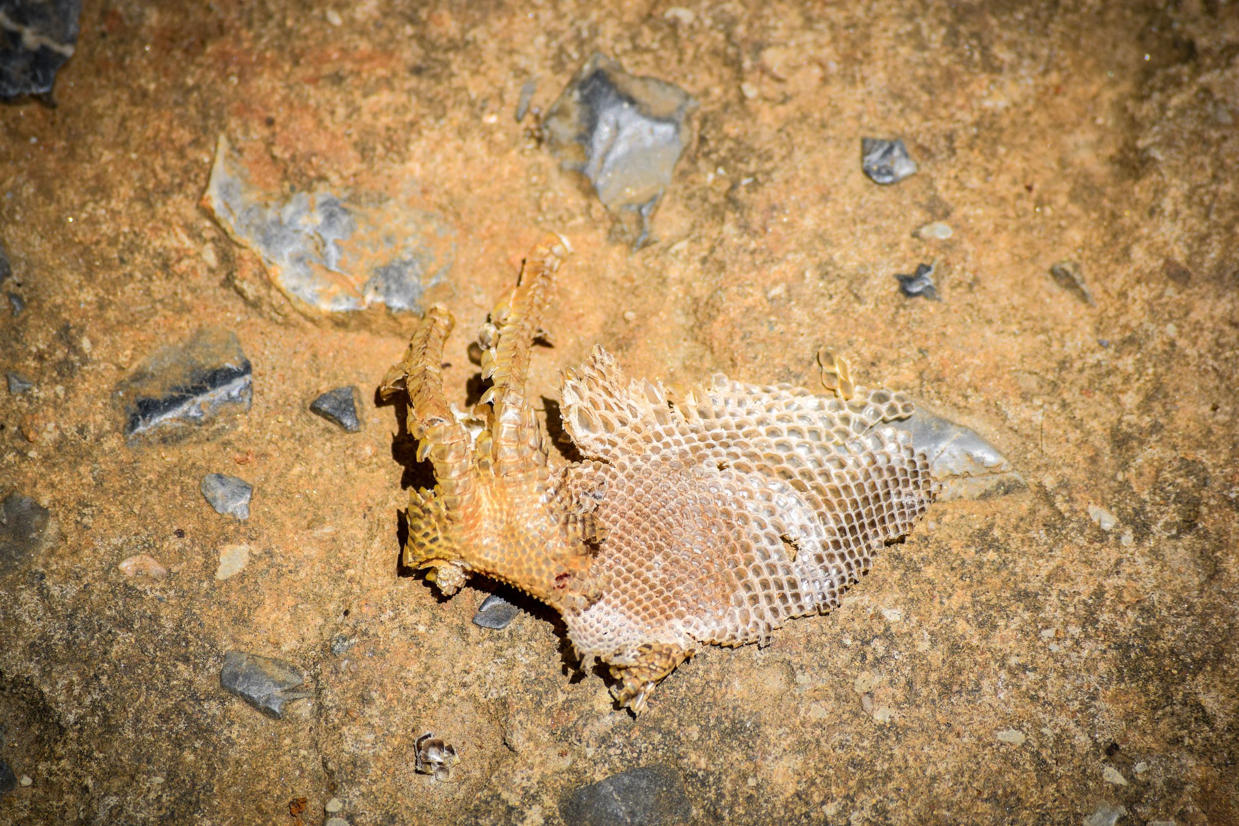 Iguana skin,  Roatán