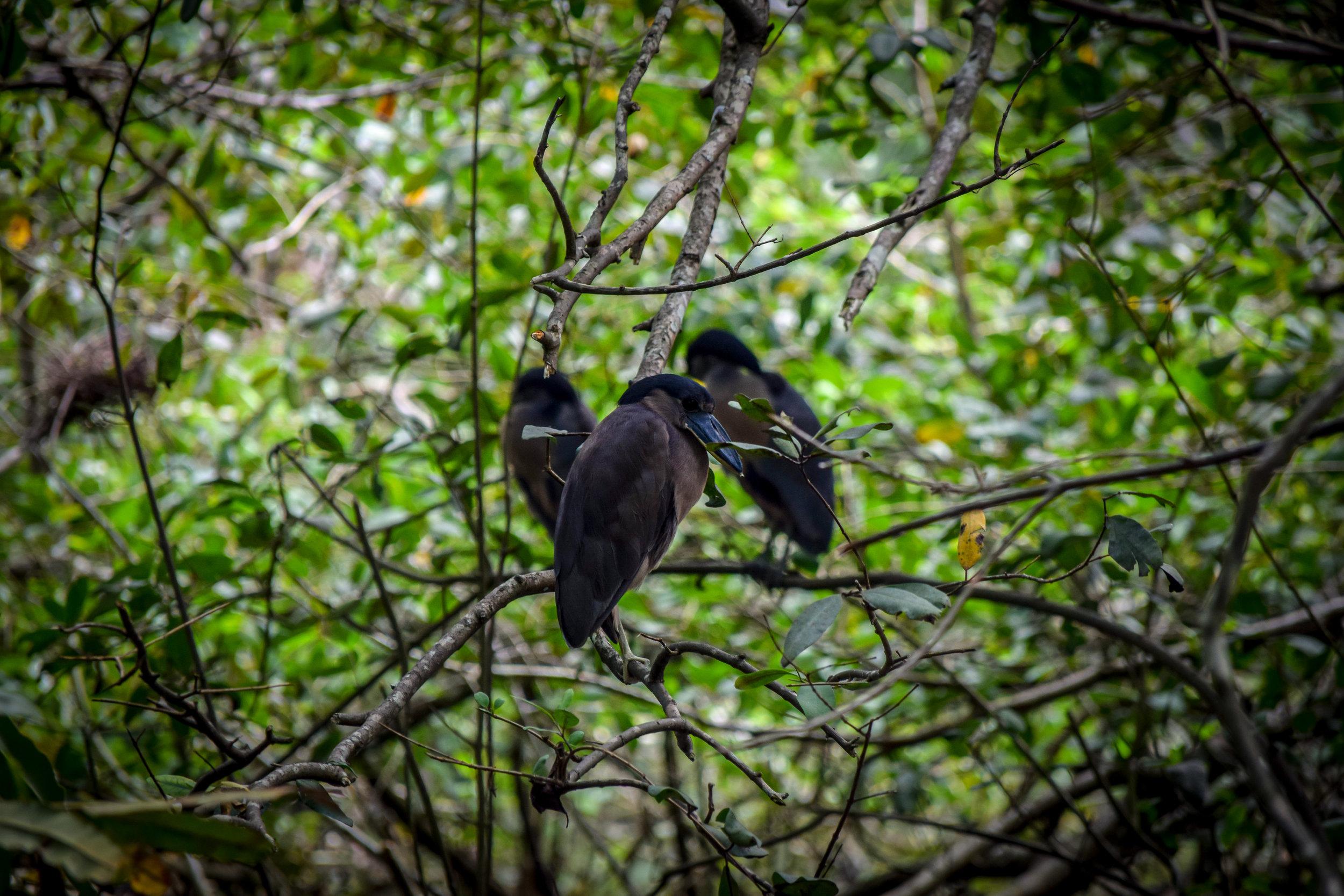 Birds in Cahuita National Park