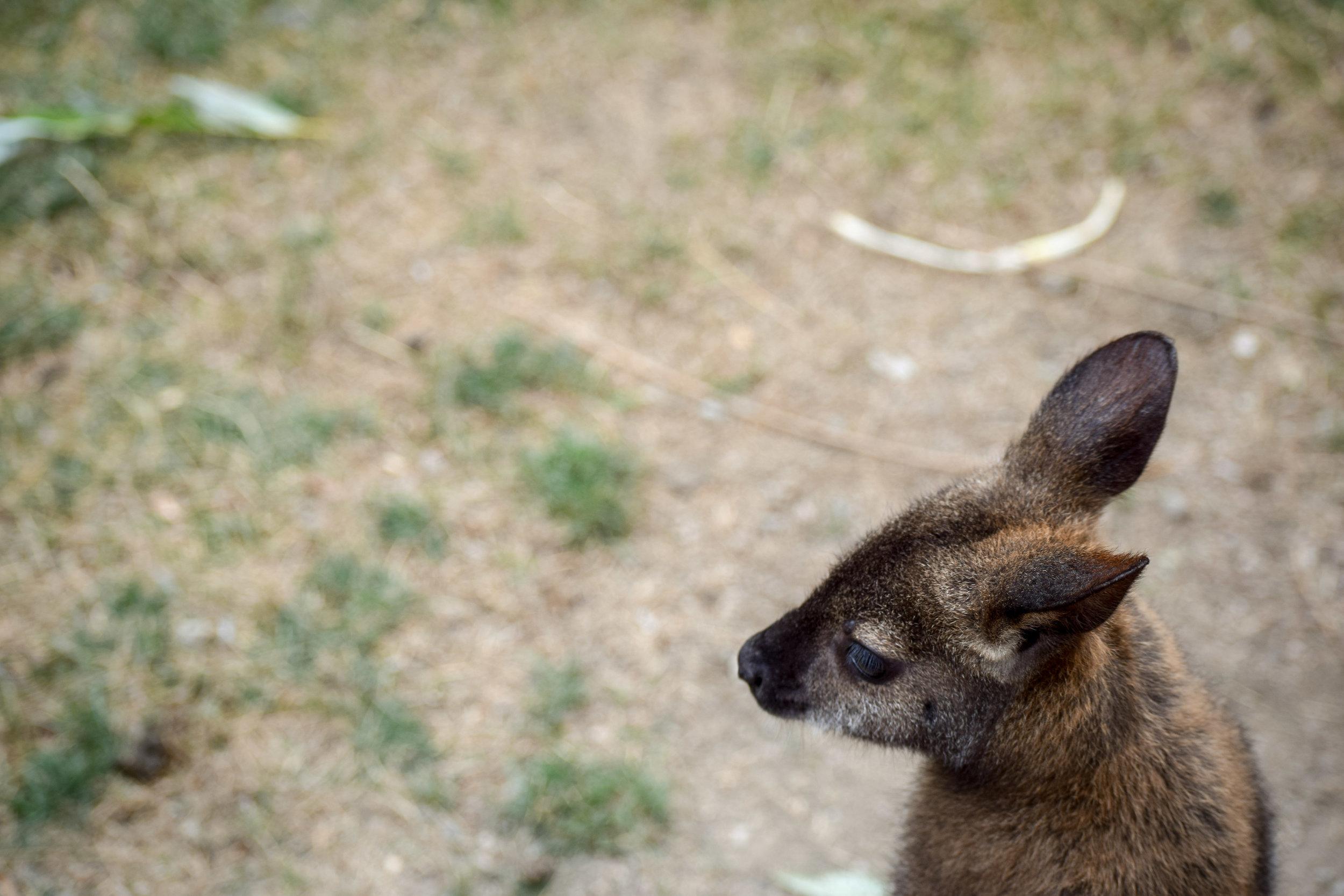 Wallaby at Kangaroo Creek Farm