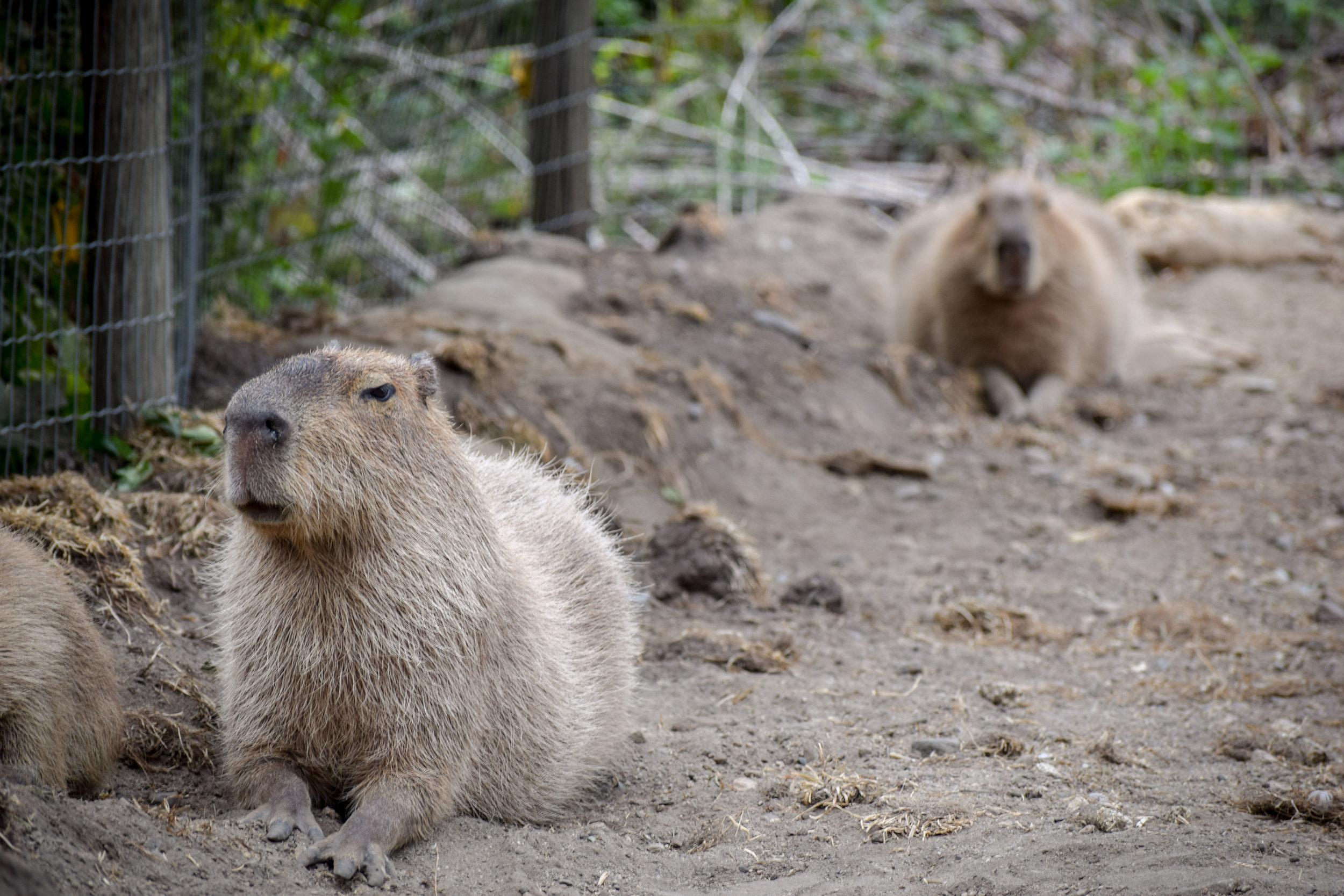 Capybaras at Kangaroo Creek Farm