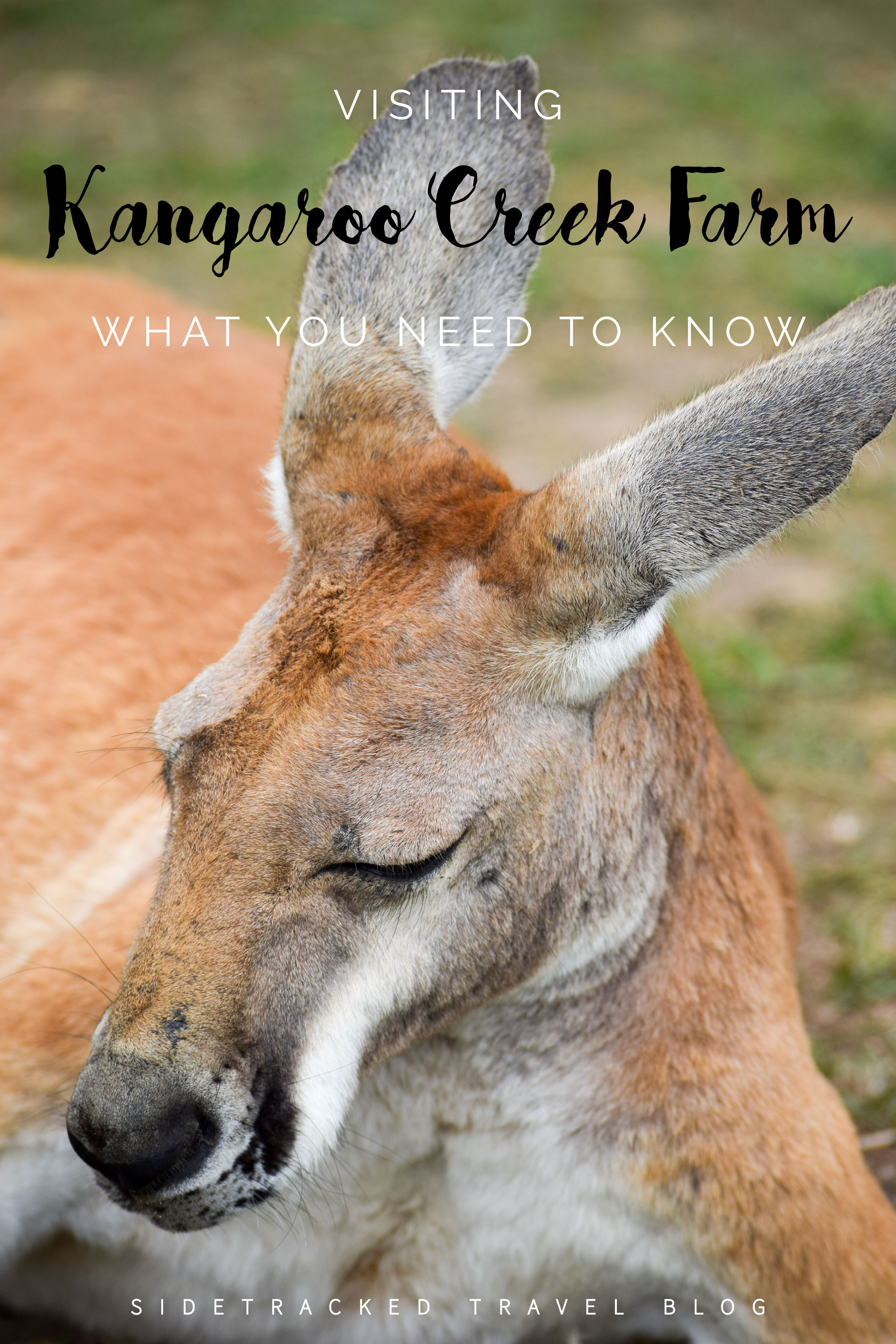 Some thoughts and important info about visiting Kangaroo Creek Farm, a popular tourist attraction in the Okanagan Valley home to kangaroos, wallabies, and capybaras.