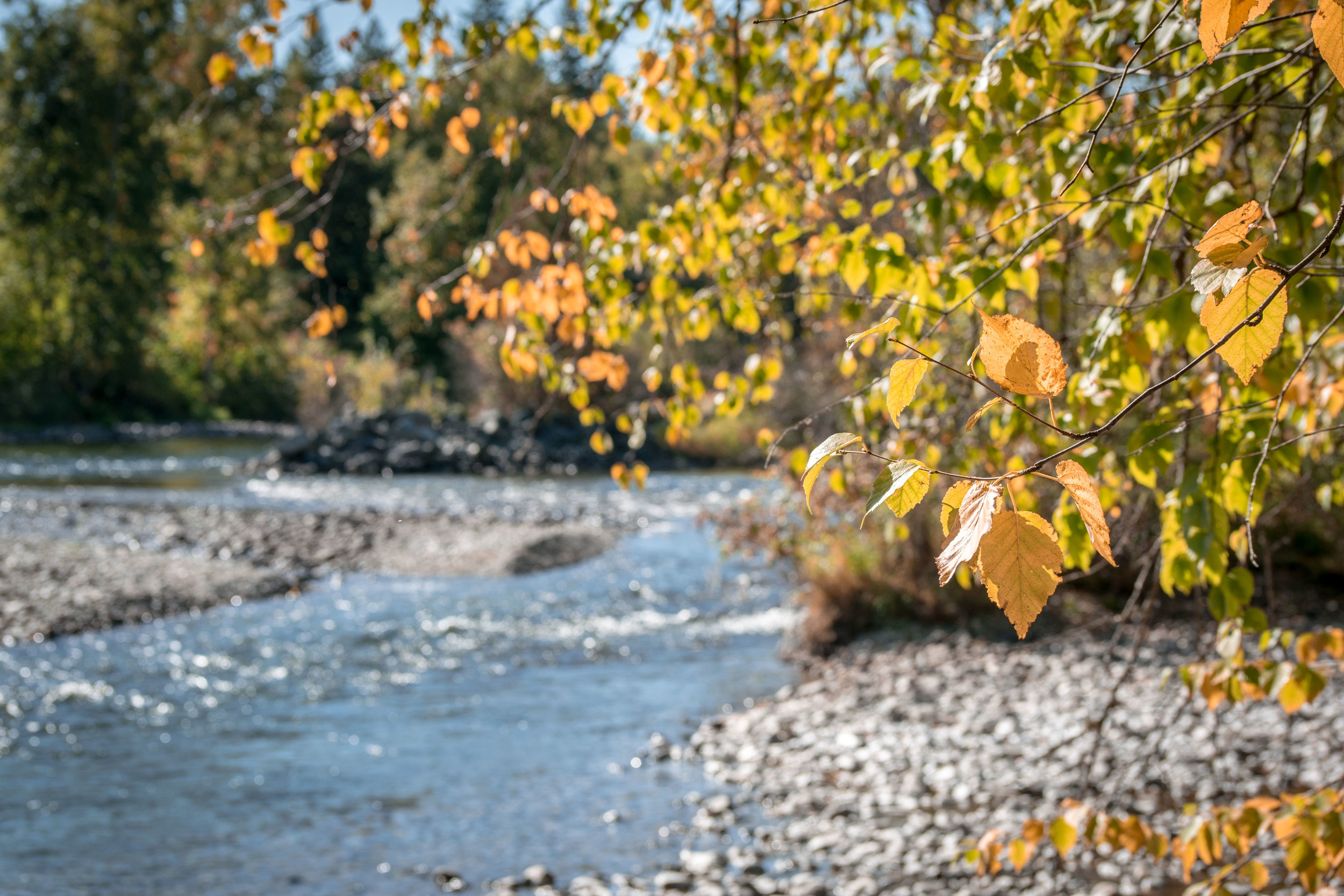 Yellow leaves over Adams River