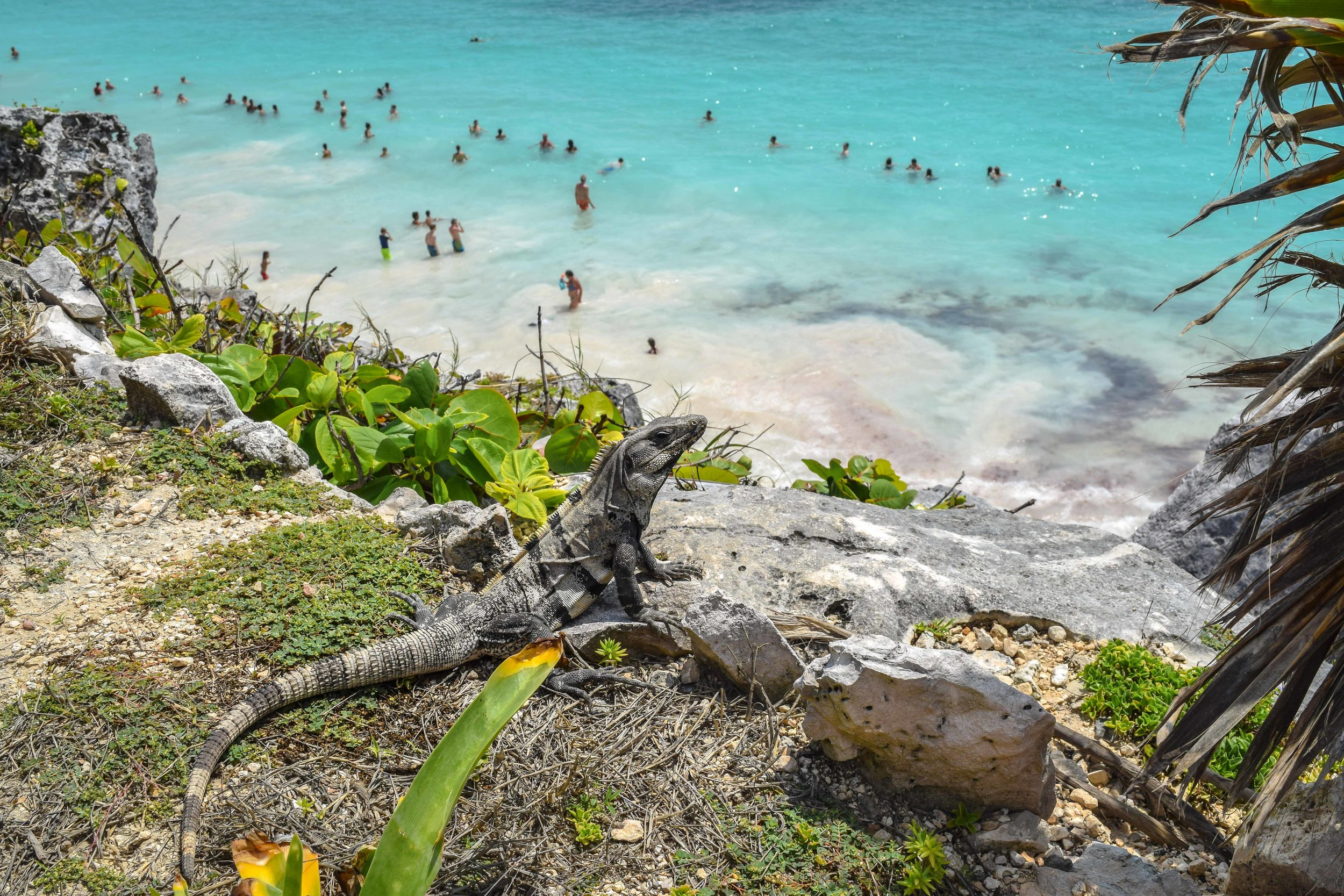 Iguana overlooking tourists bathing in the ocean in Tulum