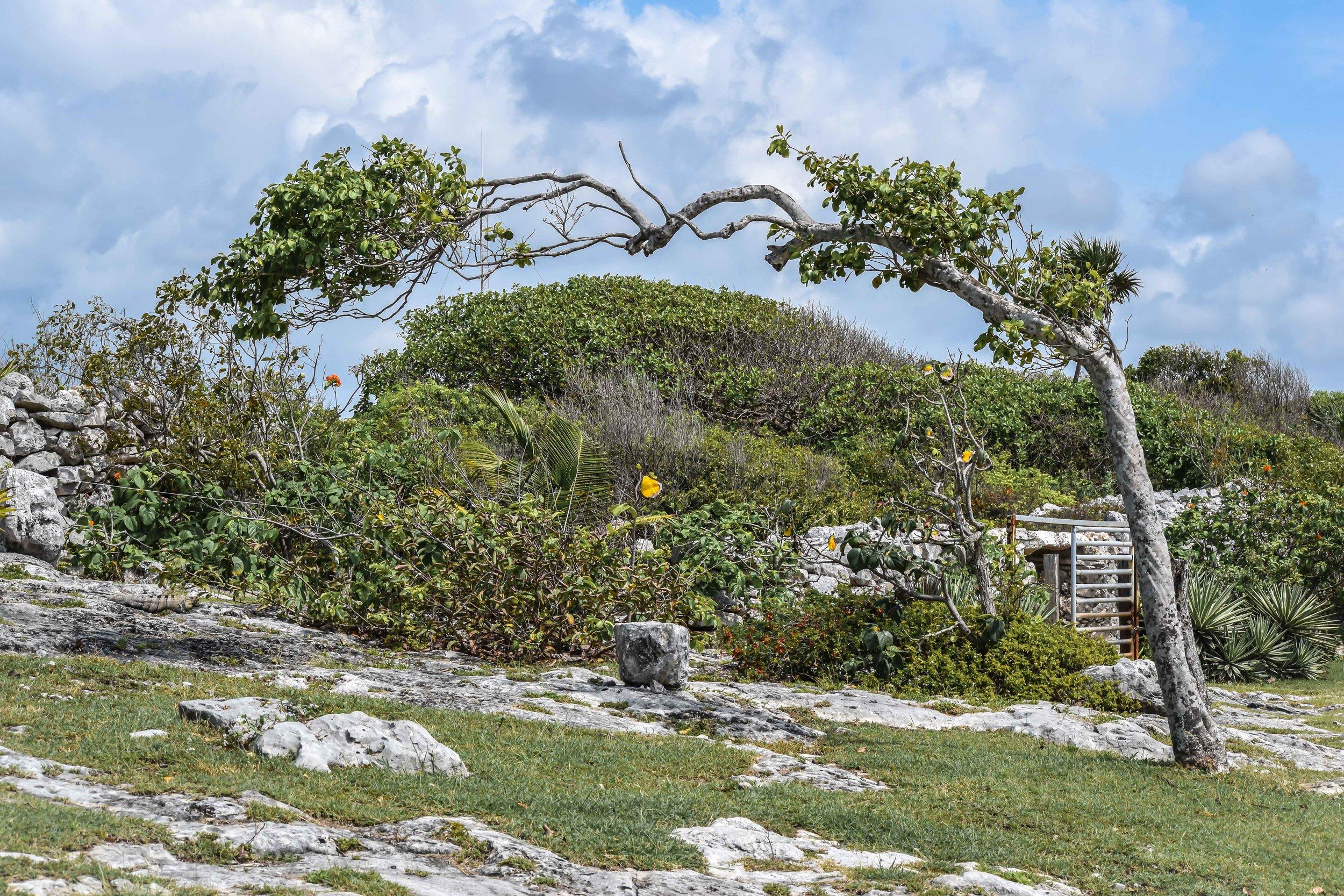 Bent tree in Tulum