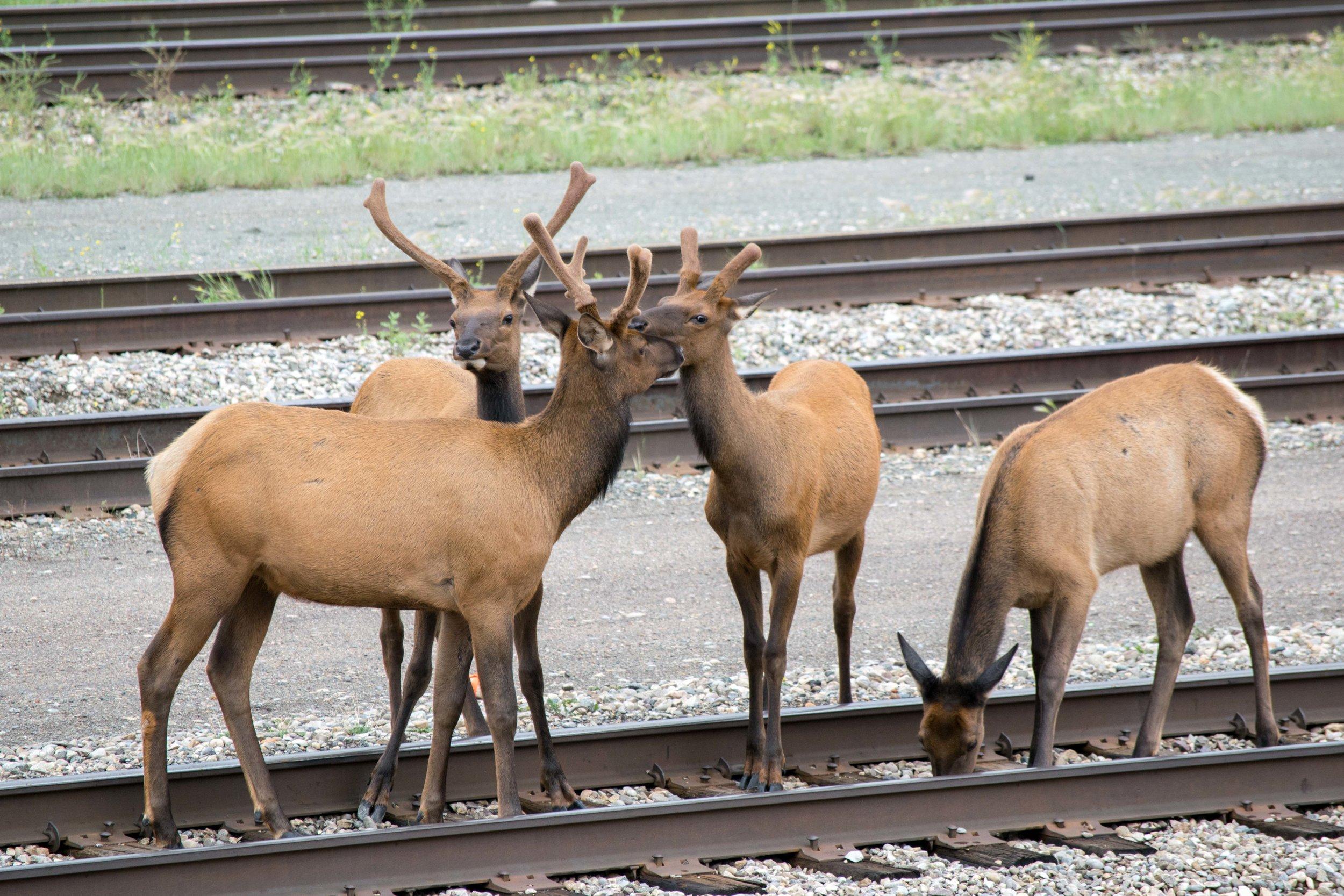 Elk in Jasper, Alberta